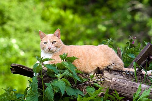 อาหารแมวรอยัลคานิน-สำหรับแมวแก่