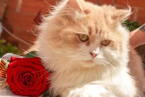 อาหารแมวเปอร์เซีย-Royal-Canin-สูตร-Adult-Persian-ดีไหม