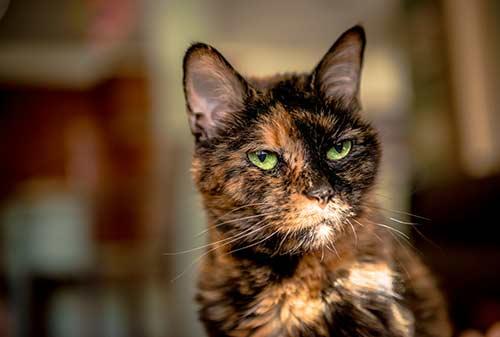 Royal-Canin-Feline-Senior-2-สำหรับแมวอายุ-11-ปีขึ้นไป-อาหารแมวสำหรับแมวสูงอายุ