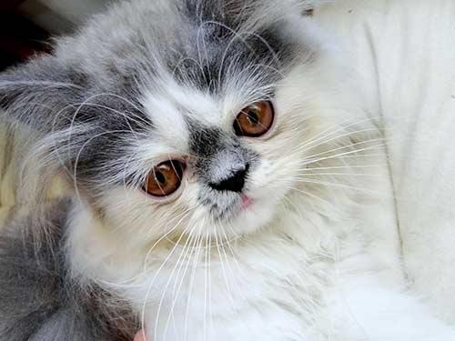 Royal-Canin-Kitten-Persianอาหารลูกแมวเปอร์เซีย-ราคาถูก