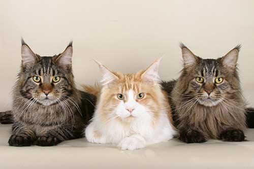 Royal-Canin-Skin-Hairball-อาหารแมว-สูตรกำจัดก้อนขน-ป้องกันก้อนขน-บำรุงผิวหนัง